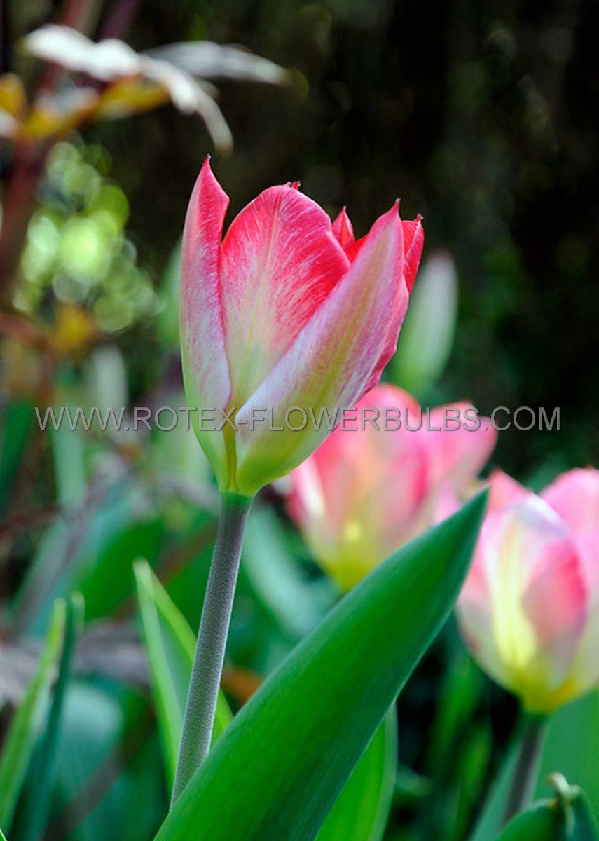 tulipa fosteriana flaming emperor 12 cm 100 pbinbox
