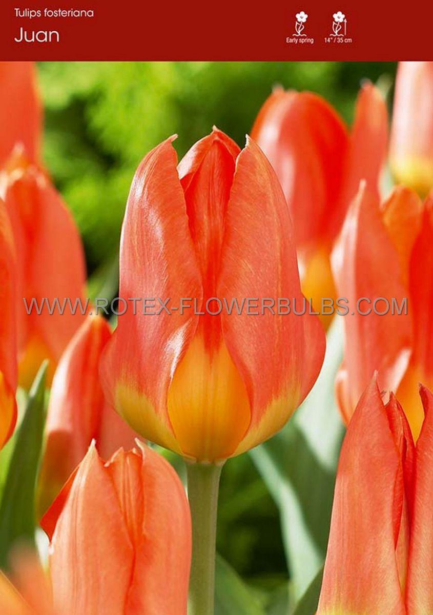 tulipa fosteriana juan 12 cm 100 pbinbox