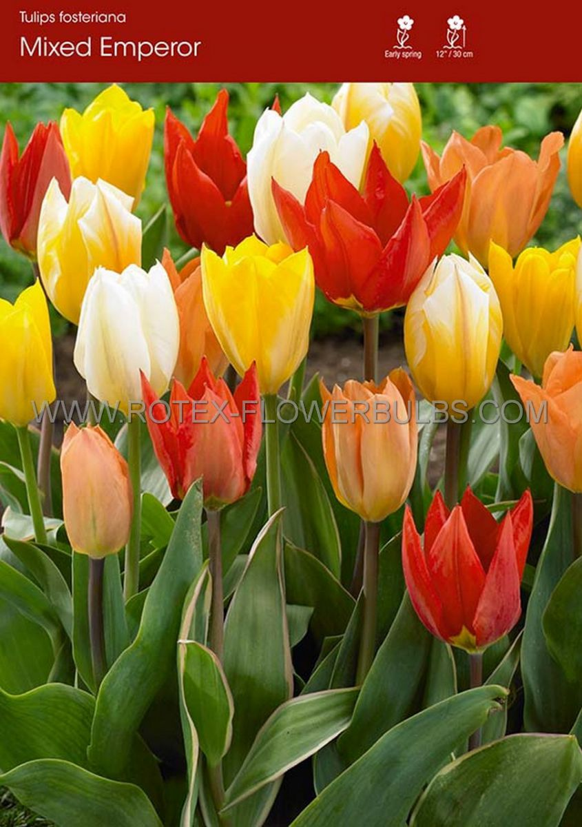 tulipa fosteriana mix 12 cm 100 pbinbox