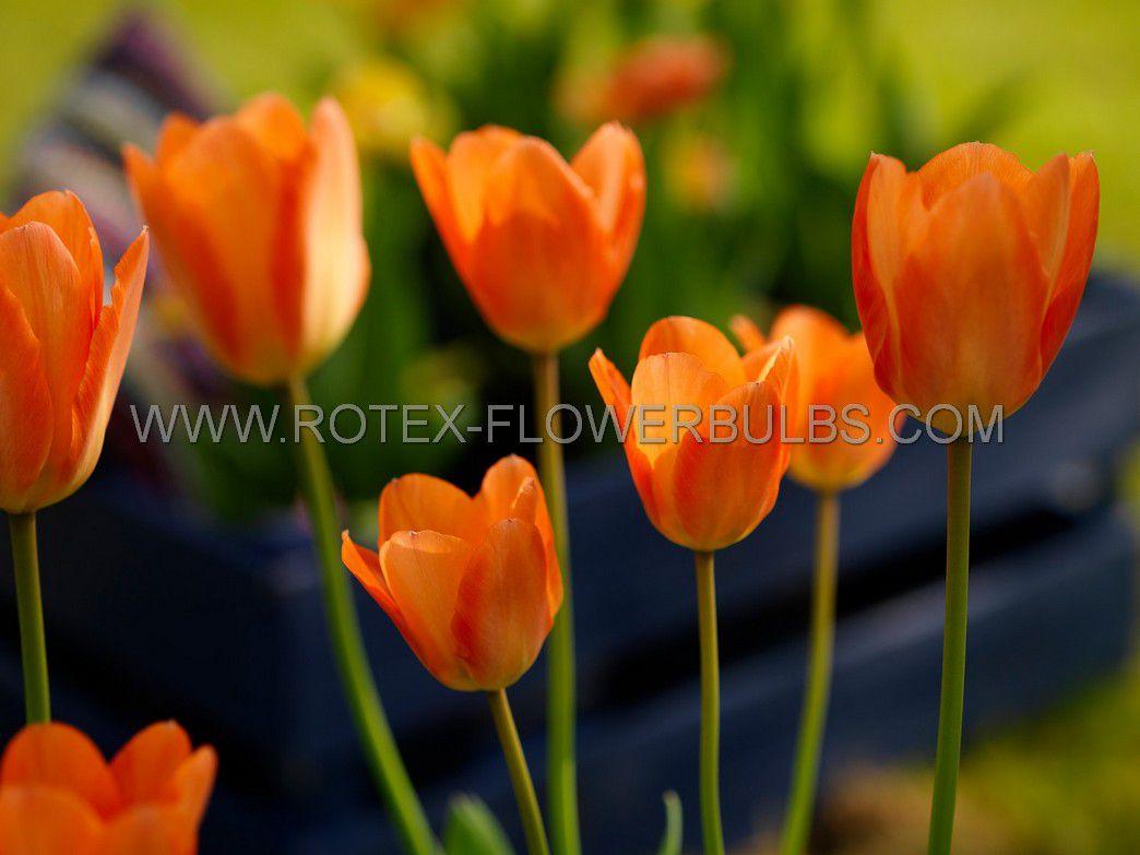 tulipa fosteriana orange emperor 12 cm 100 pbinbox