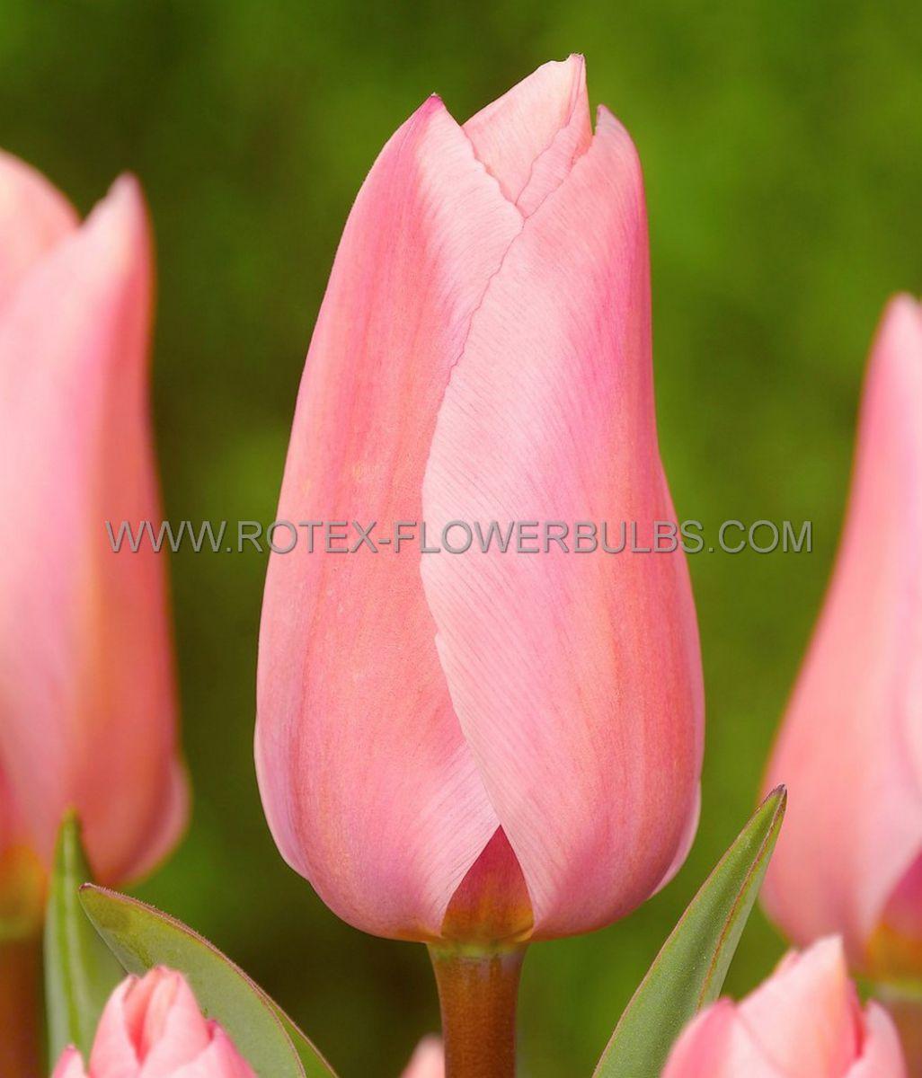 tulipa fosteriana pink emperor 12 cm 100 pbinbox