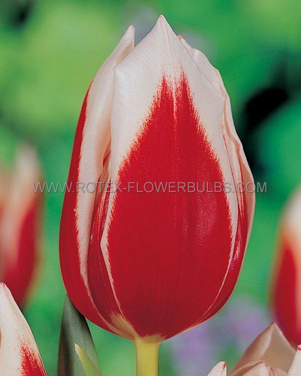 tulipa fosteriana pirand emperor 12 cm 100 pbinbox