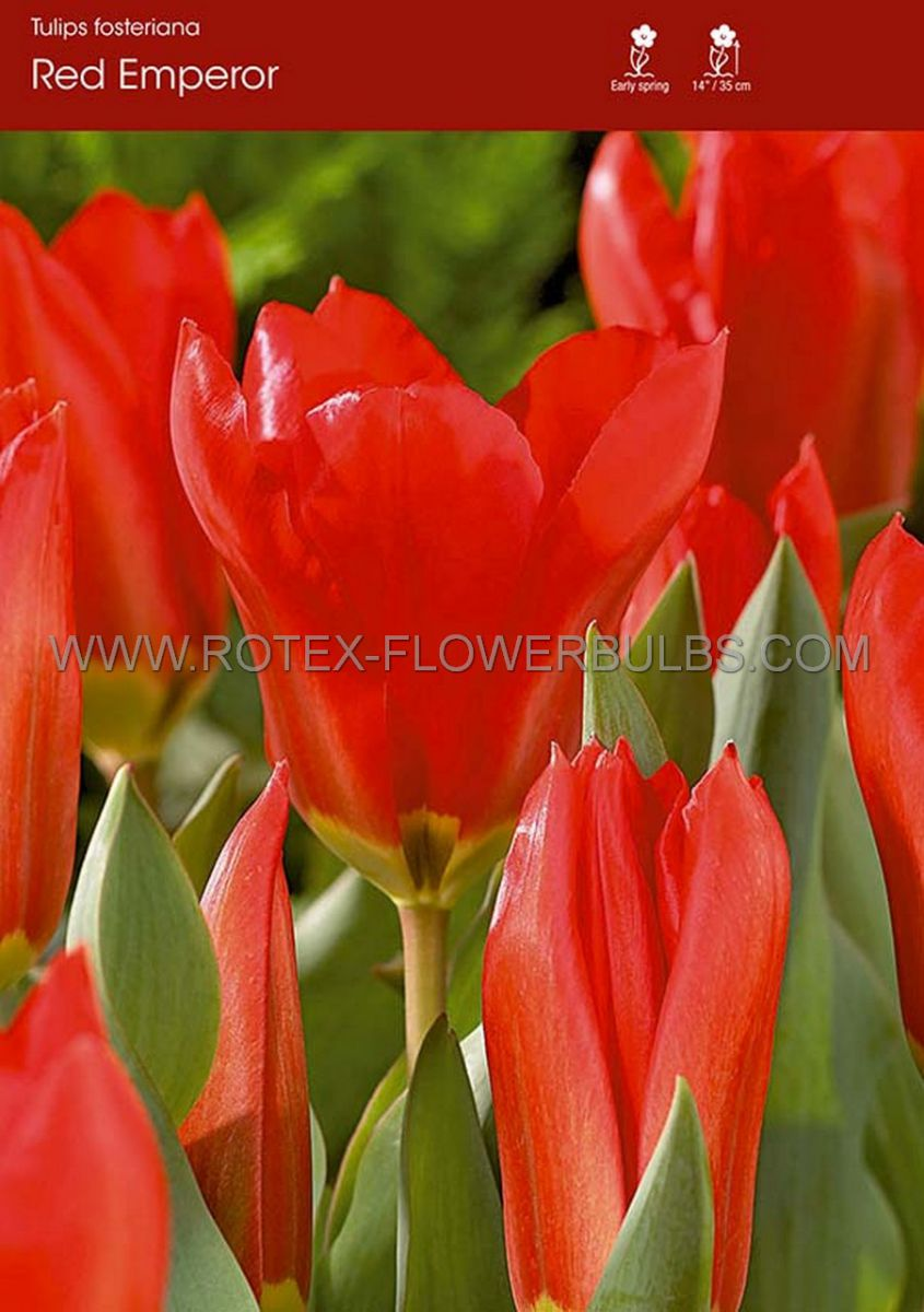 tulipa fosteriana red emperor 12 cm 100 pbinbox