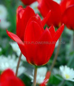 TULIPA FOSTERIANA 'RED EMPEROR' 12/+ CM. (500 P.PLASTIC TRAY)
