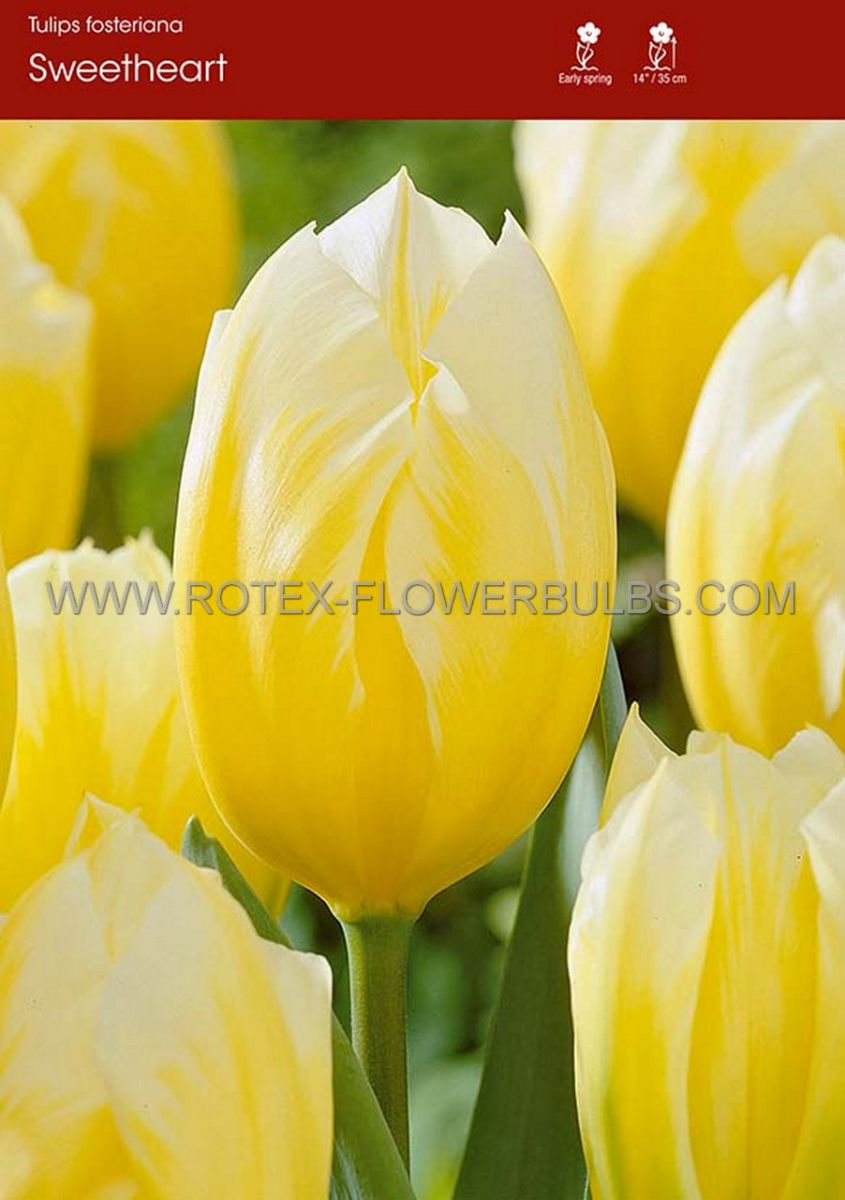 tulipa fosteriana sweetheart 12 cm 100 pbinbox
