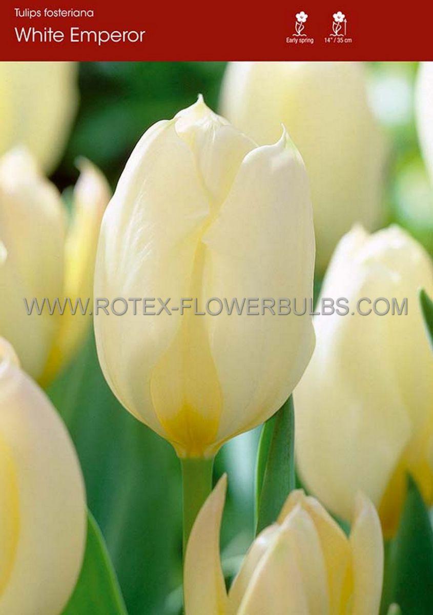 tulipa fosteriana white emperor 12 cm 100 pbinbox