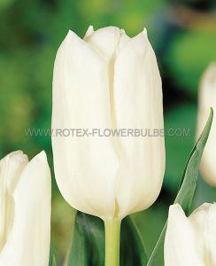 TULIPA FOSTERIANA 'WHITE EMPEROR' 12/+ CM. (500 P.PLASTIC TRAY)