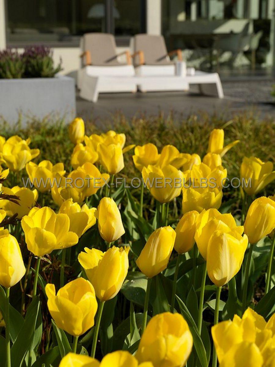 tulipa fosteriana yellow emperor 12 cm 100 pbinbox