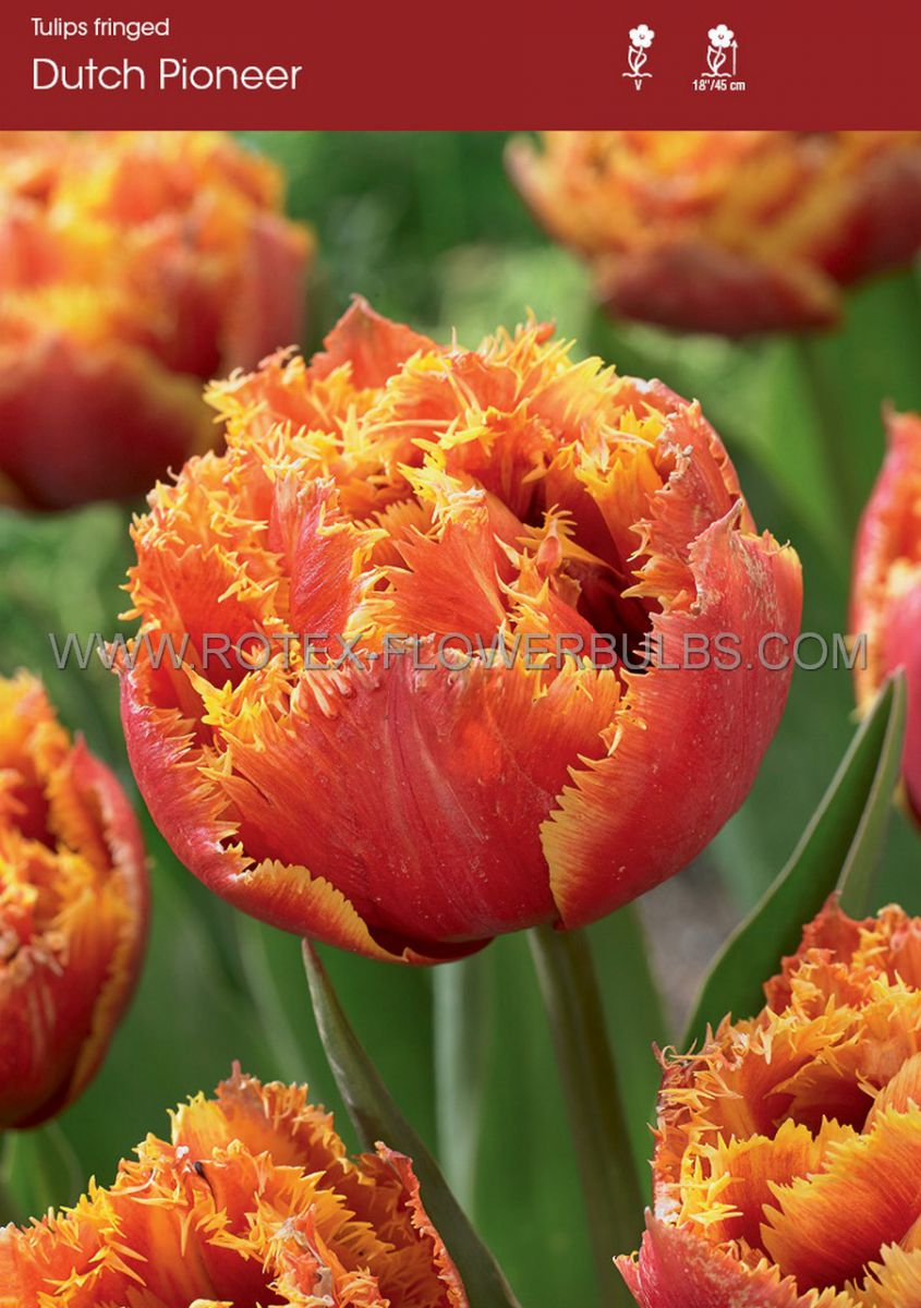 tulipa fringed dutch pioneer 12 cm 10 pkgsx 10