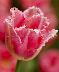 TULIPA FRINGED 'FANCY FRILLS' 12/+ CM. (10 PKGS.X 10)