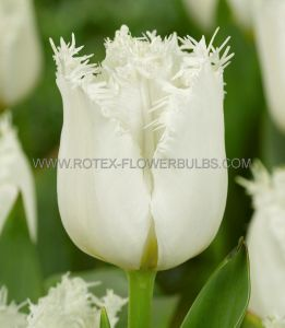 TULIPA FRINGED 'NORTH POLE' 12/+ CM. (10 PKGS.X 10)