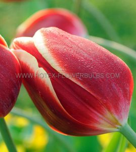 TULIPA GREIGII 'FRIENDLY FIRE' 12/+ CM. (100 P.BINBOX)