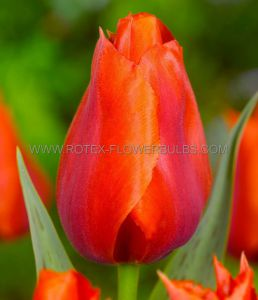 TULIPA GREIGII 'GIANT ORANGE SUNSET' MEGA SIZE 20/22 CM. (150 P.PLASTIC TRAY)