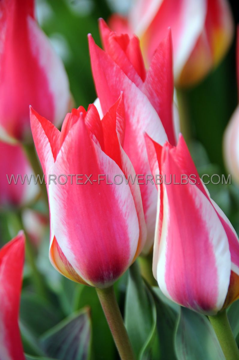 tulipa greigii pinocchio 12 cm 100 pbinbox