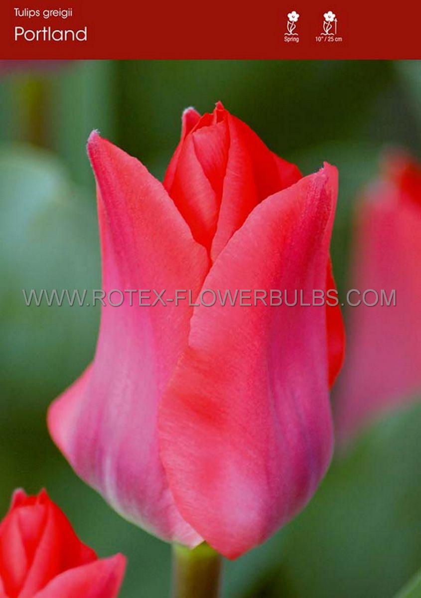 tulipa greigii portland 12 cm 100 pbinbox