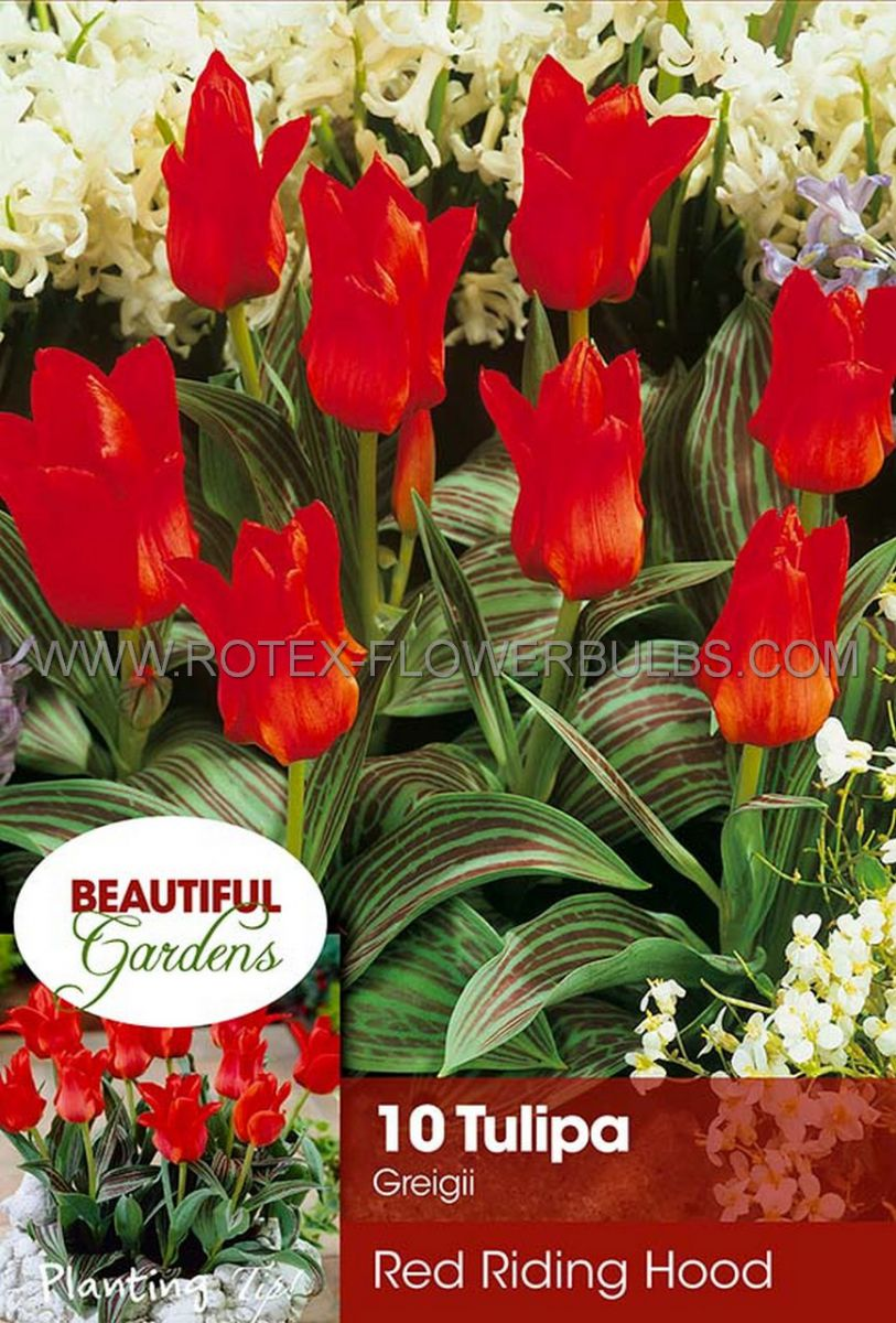 tulipa greigii red riding hood 12 cm 10 pkgsx 10
