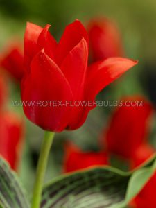 TULIPA GREIGII 'RED RIDING HOOD' 12/+ CM. (100 P.BINBOX)