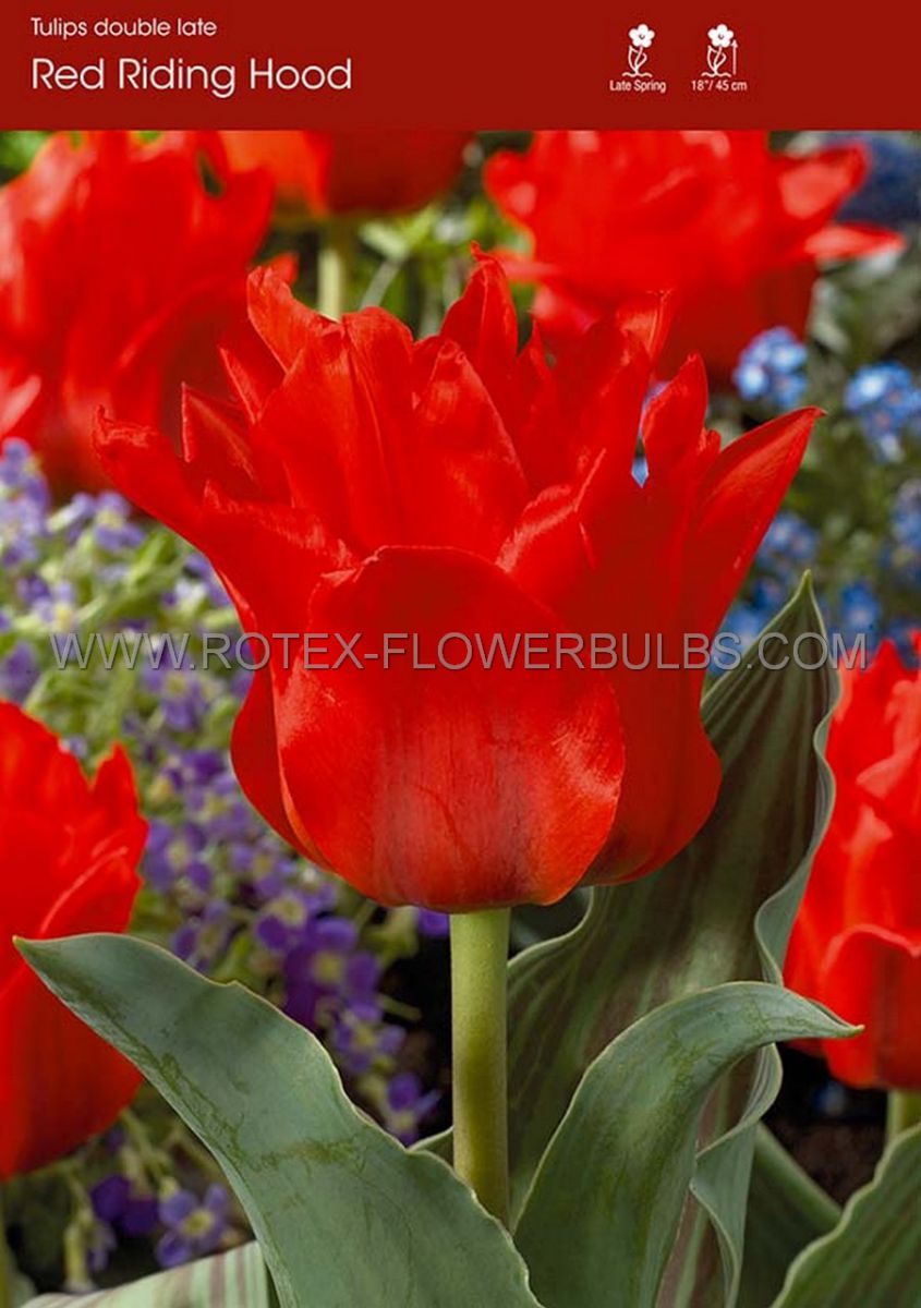 tulipa greigii red riding hood 12 cm 100 pbinbox