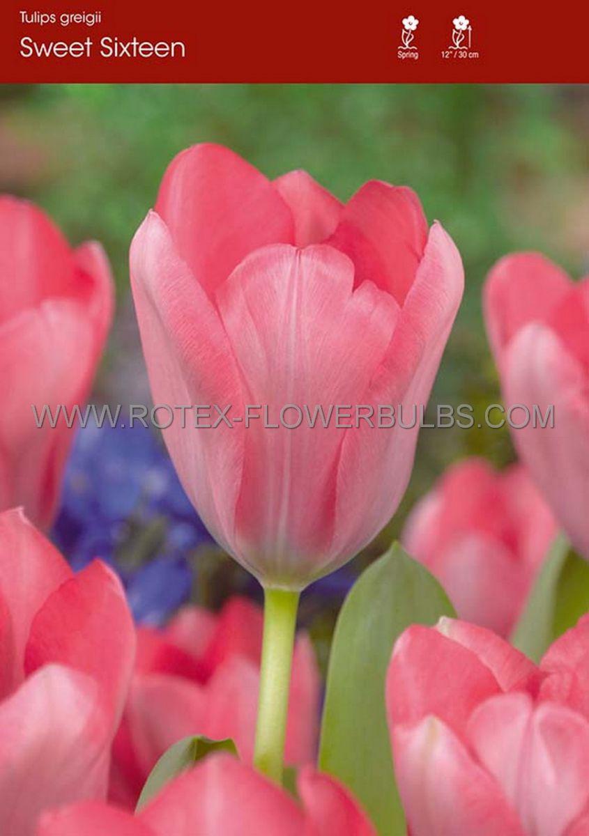 tulipa greigii sweet sixteen 12 cm 100 pbinbox