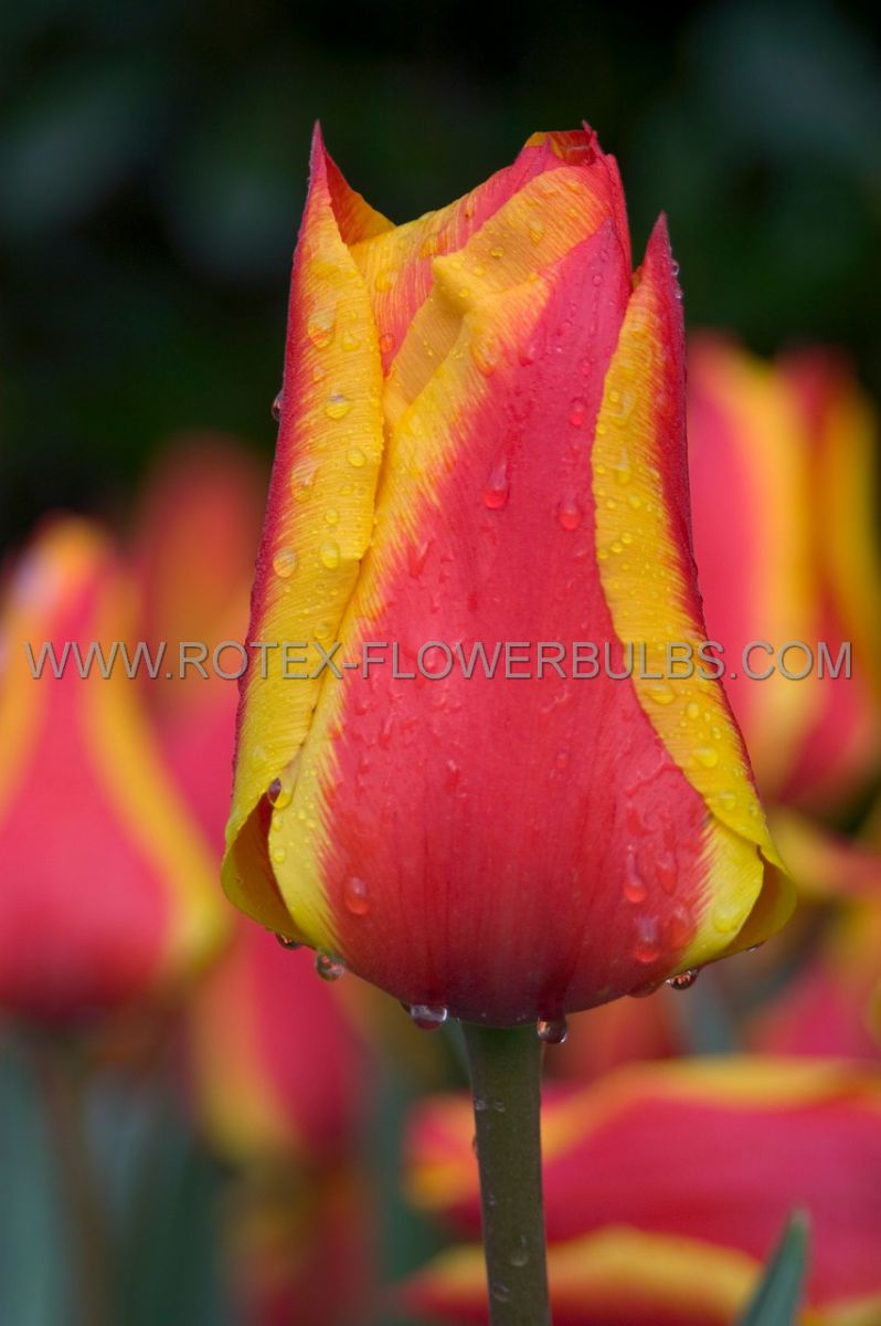 tulipa greigii united states 12 cm 100 pbinbox
