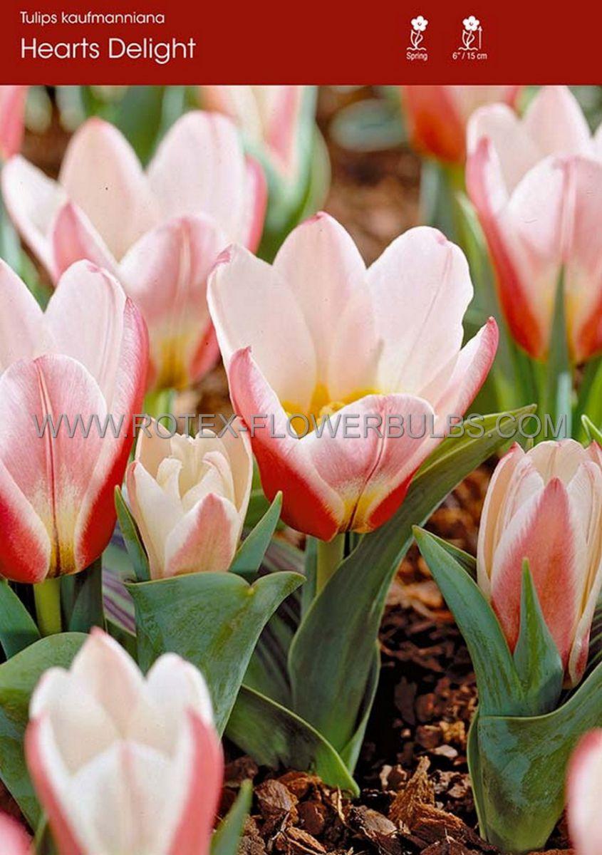 tulipa kaufmanniana hearts delight 12 cm 100 pbinbox