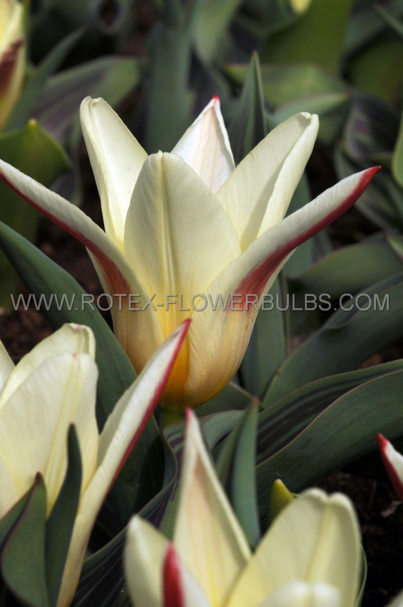 tulipa kaufmanniana johann strauss 12 cm 100 pbinbox