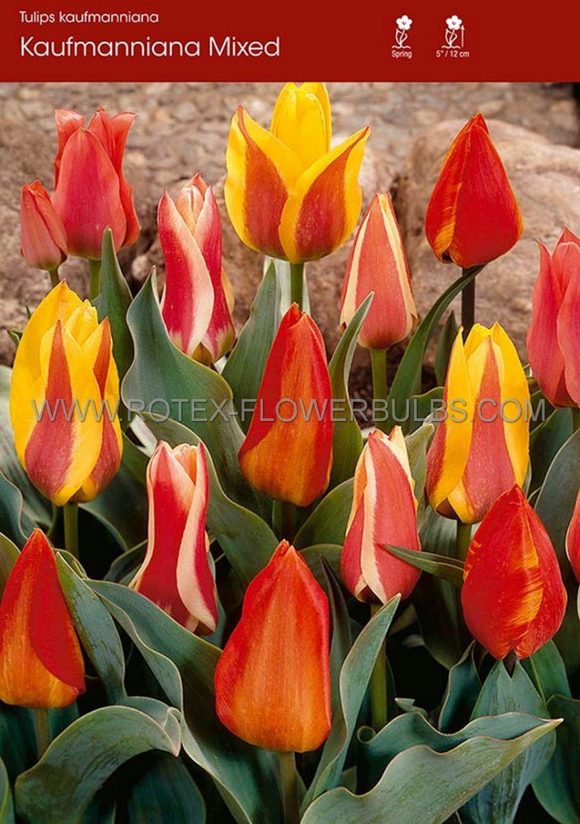 tulipa kaufmanniana mix 12 cm 100 pbinbox