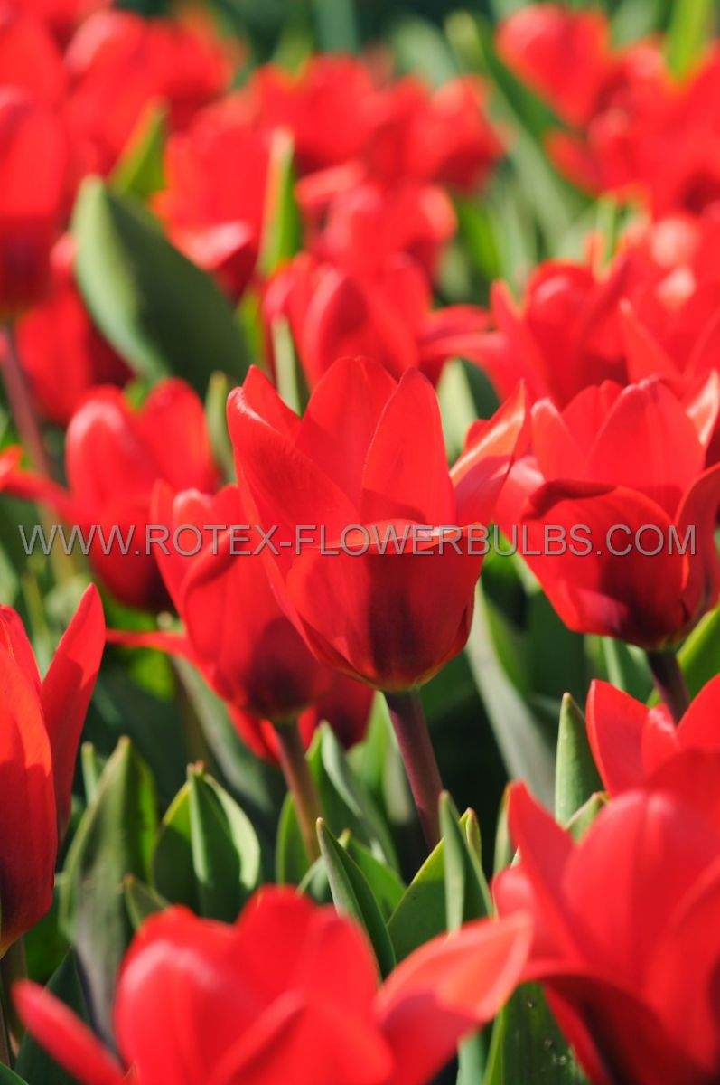 tulipa kaufmanniana showwinner 12 cm 100 pbinbox