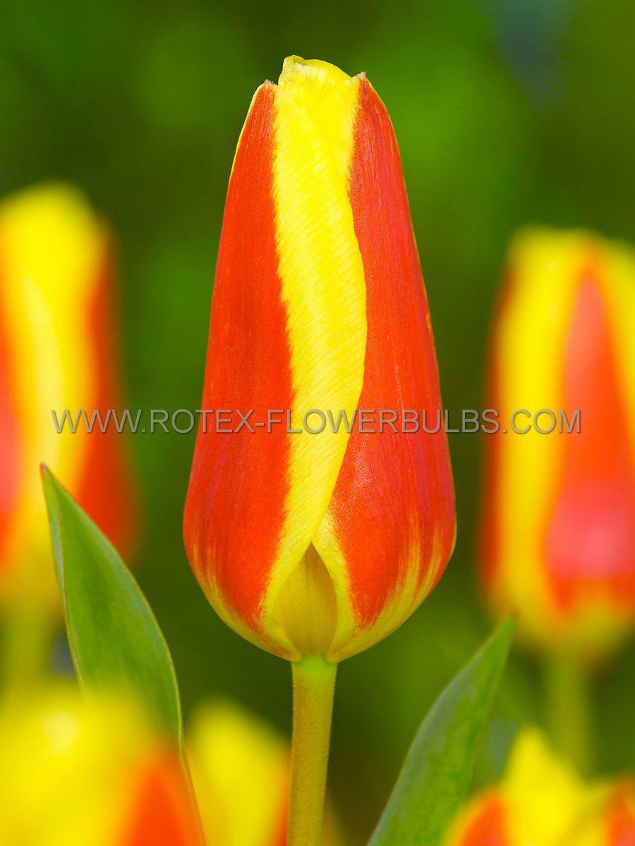 tulipa kaufmanniana stresa 12 cm 100 pbinbox