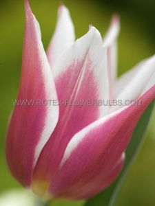 TULIPA LILY FLOWERING 'BALLADE' 12/+ CM. (100 P.BINBOX)