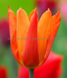 TULIPA LILY FLOWERING 'BALLERINA' 12/+ CM. (100 P.BINBOX)