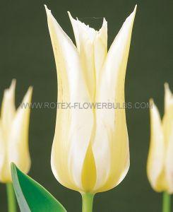 TULIPA LILY FLOWERING 'BUDLIGHT' 12/+ CM. (100 P.BINBOX)
