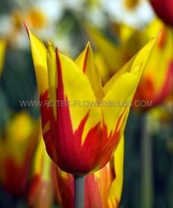 TULIPA LILY FLOWERING 'FIREWORK' 12/+ CM. (100 P.BINBOX)