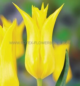 TULIPA LILY FLOWERING 'FLASHBACK' 12/+ CM.. (100 P.BINBOX)
