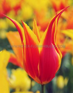 TULIPA LILY FLOWERING 'FLY AWAY' 12/+ CM. (100 P.BINBOX)