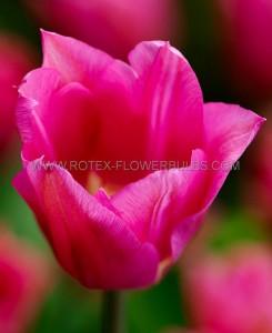 TULIPA LILY FLOWERING 'MARIETTE' 12/+ CM. (100 P.BINBOX)