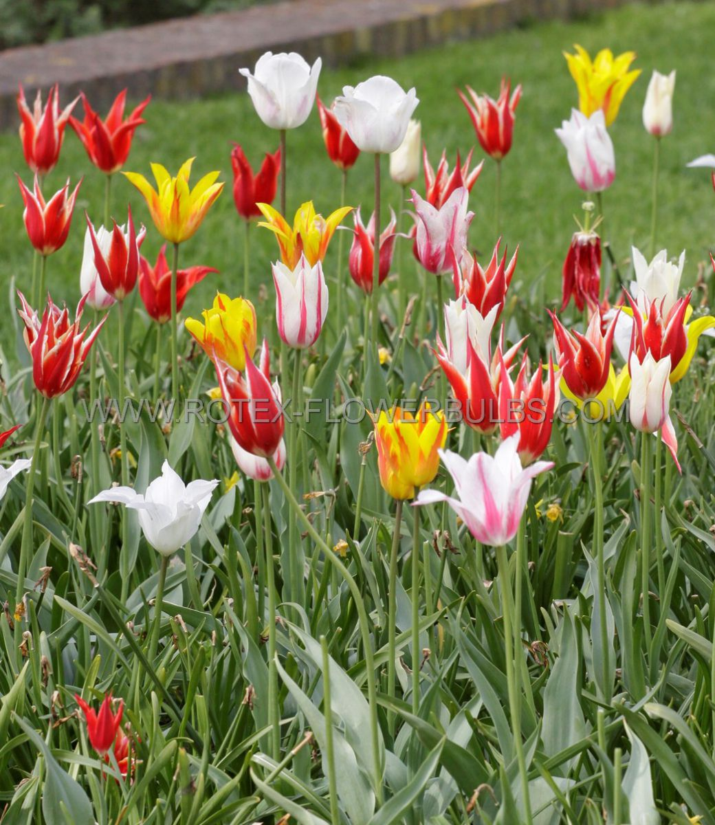 tulipa lily flowering mix 12 cm 10 pkgsx 10