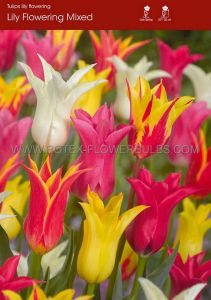 TULIPA LILY FLOWERING 'MIX' 12/+ CM. (100 P.BINBOX)