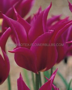 TULIPA LILY FLOWERING 'PURPLE DREAM' 12/+ CM. (10 PKGS.X 10)