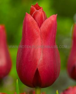 TULIPA LILY FLOWERING 'RED STREET' 12/+ CM. (10 PKGS.X 10)