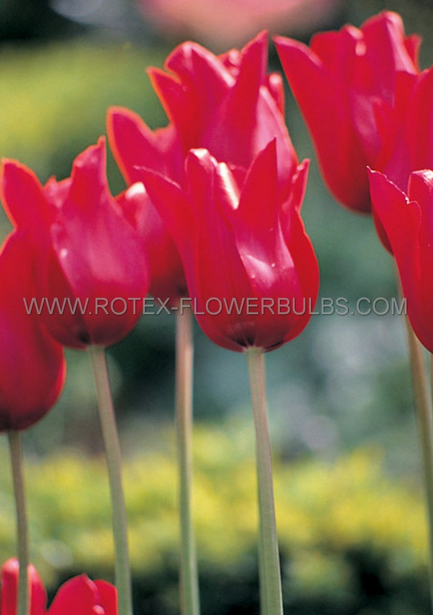 tulipa lily flowering red street 12 cm 10 pkgsx 10