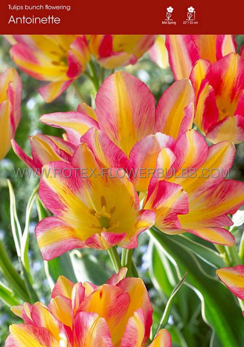 tulipa multiflowering antoinette 12 cm 100 pbinbox