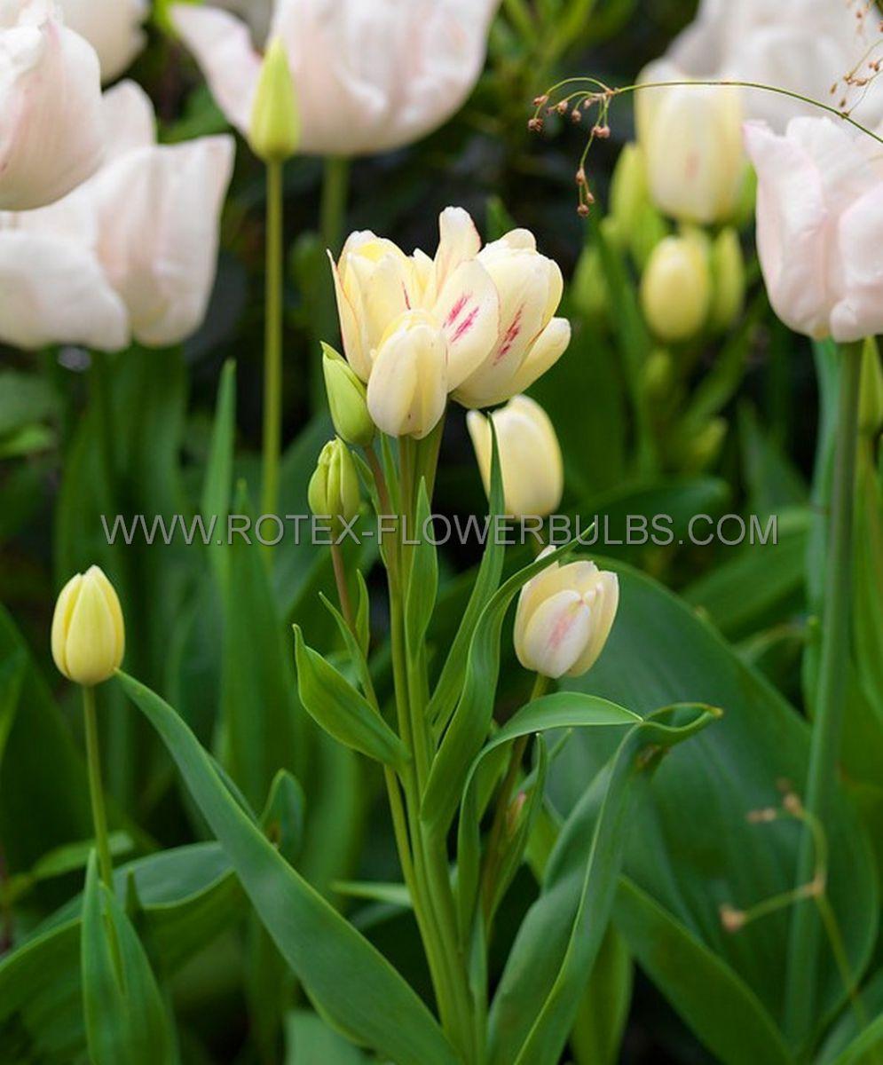 tulipa multiflowering candy club 12 cm 100 pbinbox