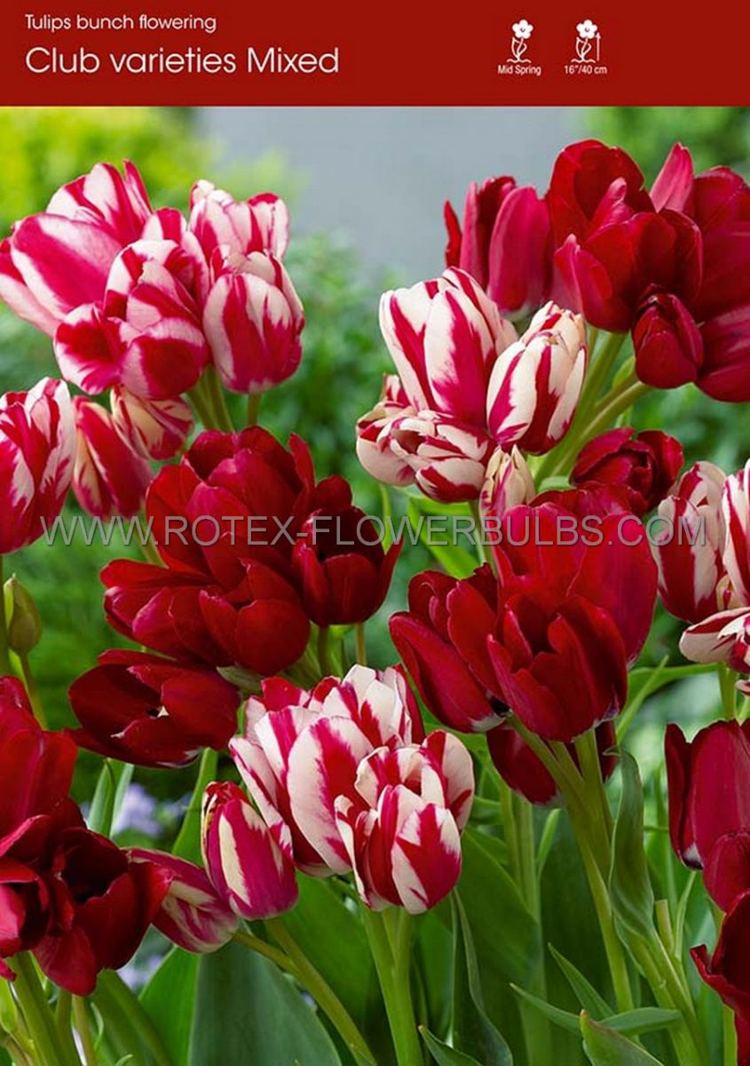 tulipa multiflowering club varieties mix 12 cm 100 pbinbox