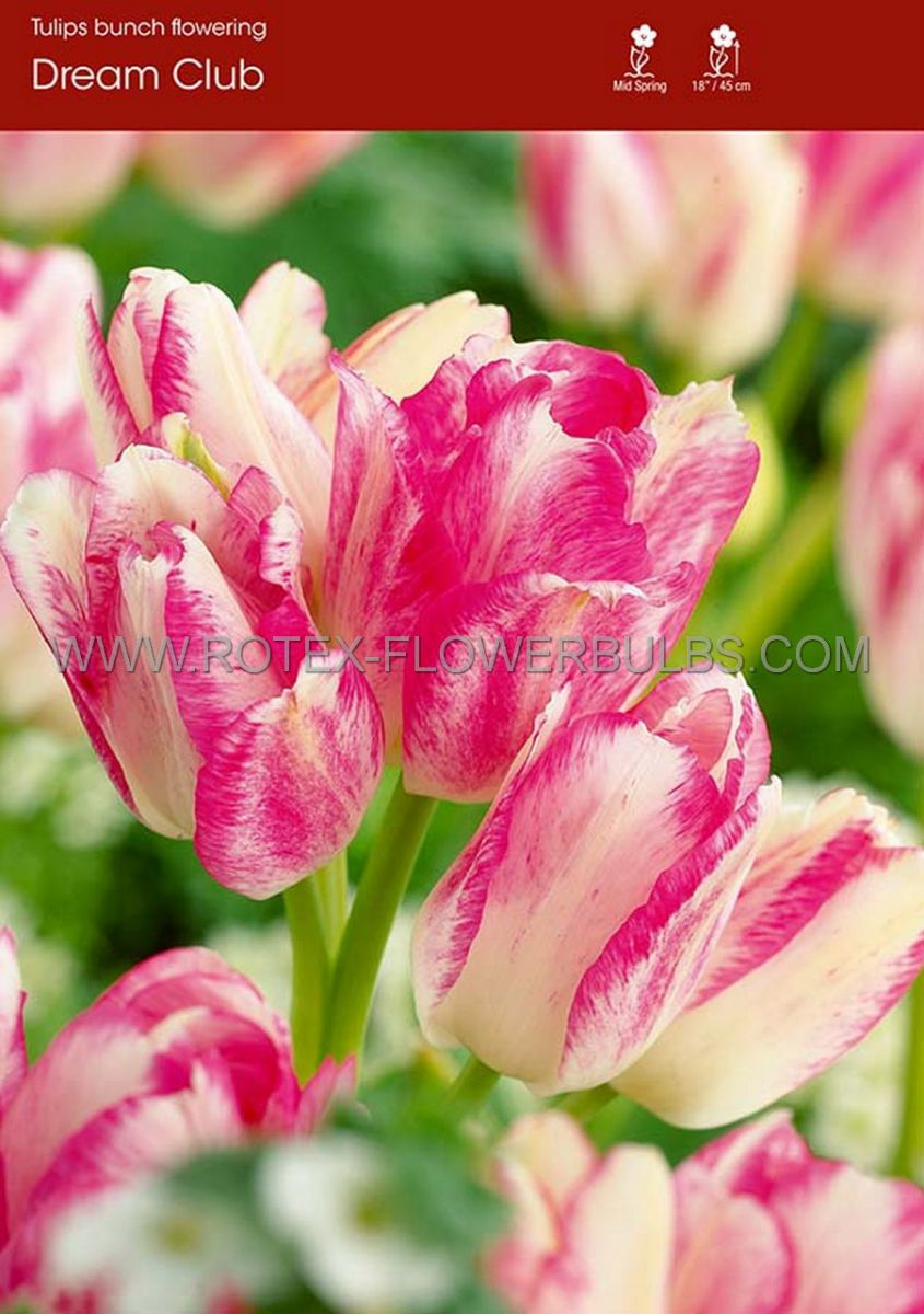 tulipa multiflowering dream club 12 cm 100 pbinbox