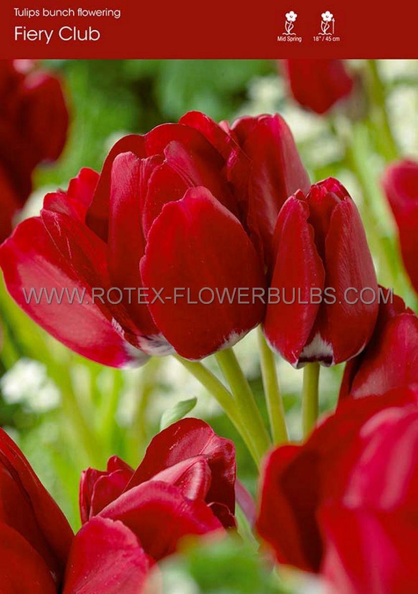 tulipa multiflowering fiery club 12 cm 100 pbinbox