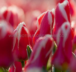 TULIPA MULTIFLOWERING 'FLAMING CLUB' 12/+ CM. (100 P.BINBOX)