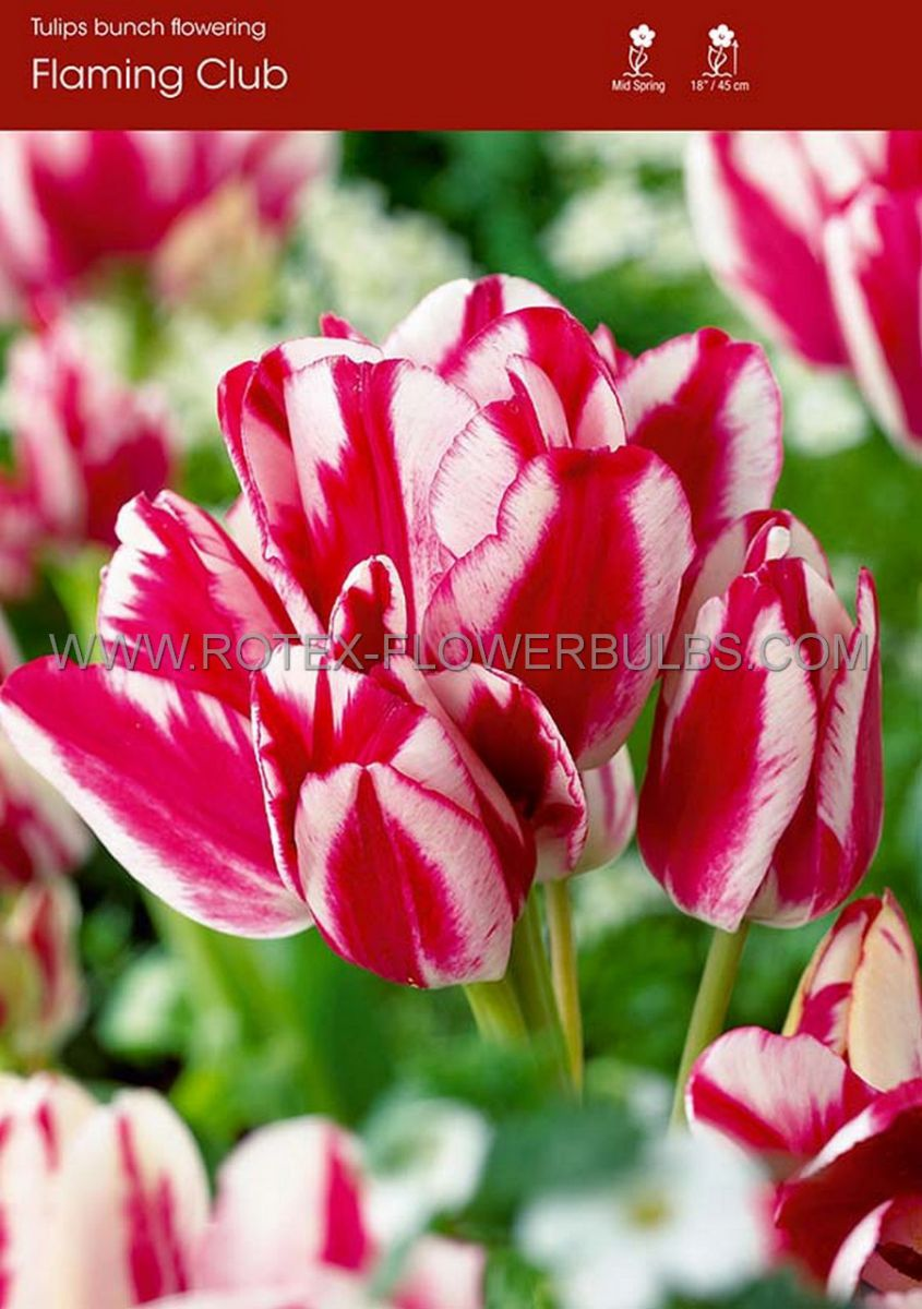 tulipa multiflowering flaming club 12 cm 100 pbinbox