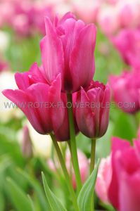 TULIPA MULTIFLOWERING 'HAPPY FAMILY' 12/+ CM. (100 P.BINBOX)