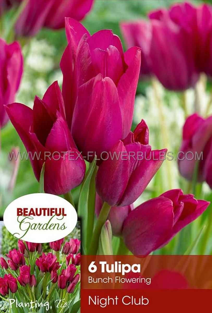 tulipa multiflowering night club 12 cm 10 pkgsx 6